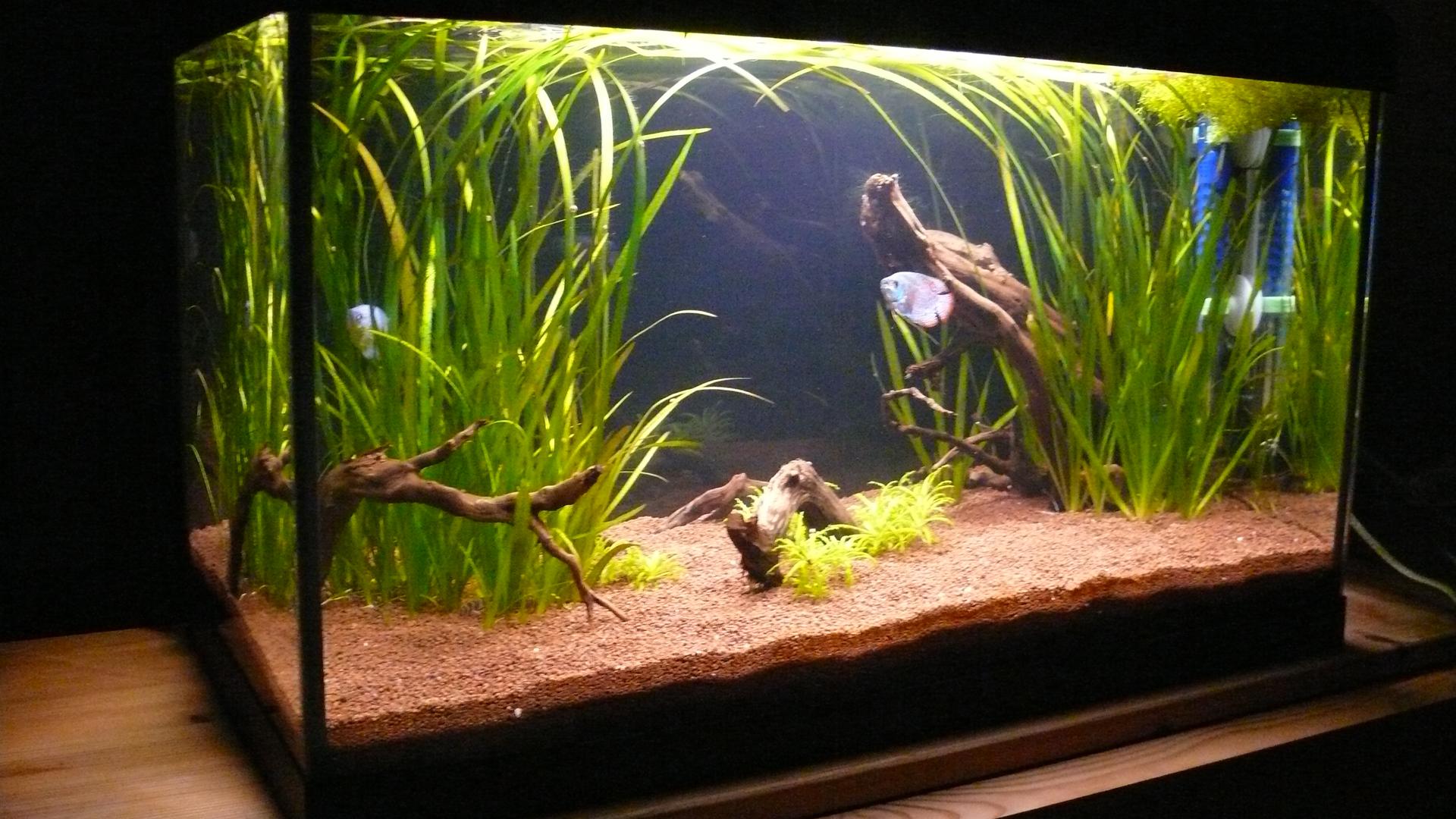 Commen ons par le commencement regi fish focus for Poisson aquarium 60l